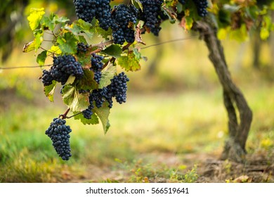 Ripe blue grapes in the vineyard