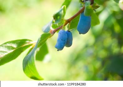 Ripe blue honeysuckle berries on a branch in garden. Honeyberry walpaper