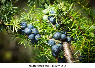 The ripe blue juniper berries are on juniper tree in nature.