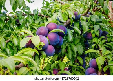 Ripe blue purple plums in summer garden