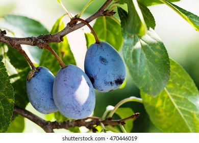 Ripe blue violet plums, tree branch with organic fruits. macro view, shallow depth of field