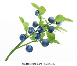 Ripe blueberries on the branch over white.