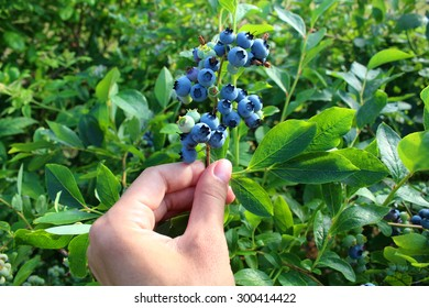 Ripe blueberries on the bush in her hand