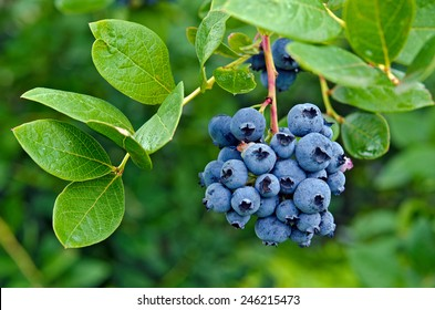 ripe blueberry cluster on a blueberry bush