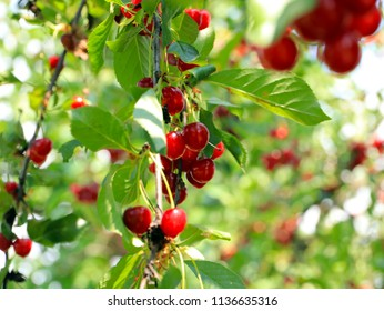ripe bright red sweet cherry berries on the branches of a tree