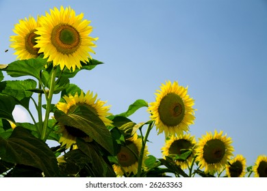 Ripe bright sunflowers growing on a farmer field in the late summer