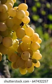 Ripe bunch of grapes close-up. Ripe grapes on the vine in the garden.