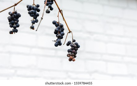 Ripe bunches of grapes in the fall. Ripe grapes hang on branches. The late grape variety ripened in September. Uncut berries of blue grapes in late autumn. Grapes on the background of the house