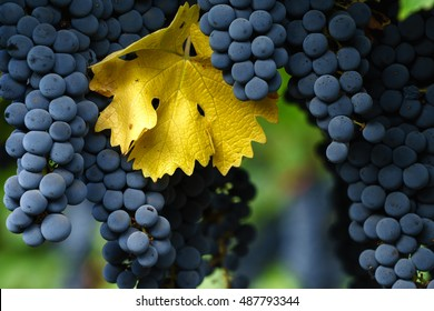 Ripe Cabernet Sauvignon grapes in Napa with single autumn leaf. Fall in Napa Valley wine country. Close up of bunches of red wine grapes hanging from the vine, ready for harvest.