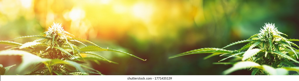 Ripe cannabis plants - hemp. Blooming female marijuana flowers and leafs growing in homemade garden. Shallow depth of field and blurred background. Illuminated by sunlight. Wide banner.