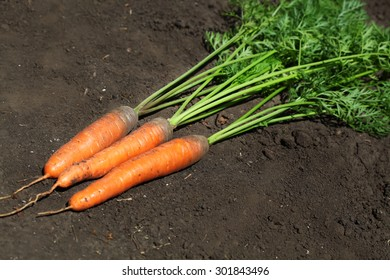 Ripe carrots on the ground