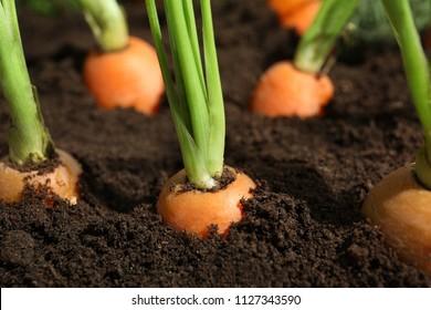 Ripe carrots in soil, closeup. Healthy diet