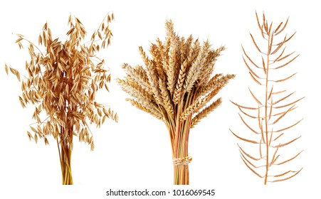 Ripe cereals plants oats,wheat and canola isolated on a white background. Collection of agricultural crops.