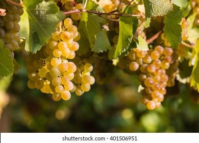 ripe chardonnay grapes on vine