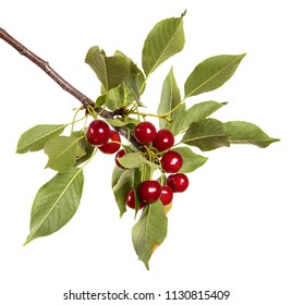 ripe cherries on a branch. isolated on white background