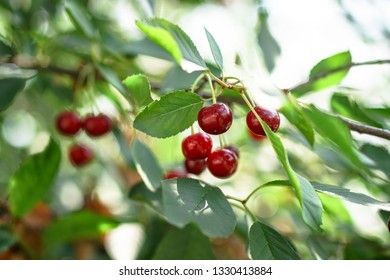 Pictures Of Cherries On Tree