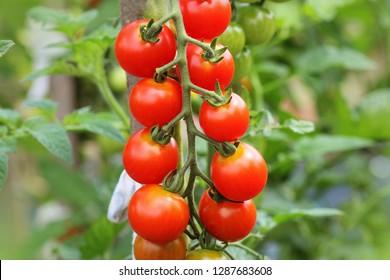 Ripe cherry organic tomatoes in garden ready to harvest .