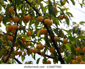 ripe cherry plum on the branches of a tree in the garden