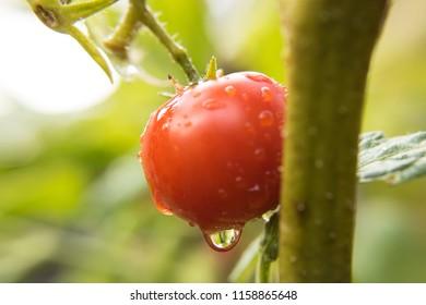 A ripe Cherry Tomato after a light rainfall.