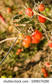Ripe Cherry Tomatoes in Fall