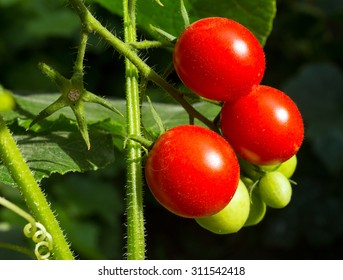 Ripe Cherry tomatoes on a branch in Garden.
