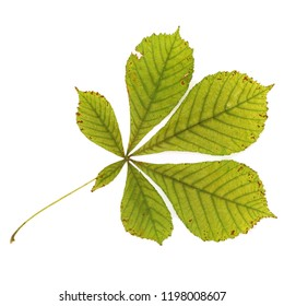 ripe chestnut leaves close up, isolated