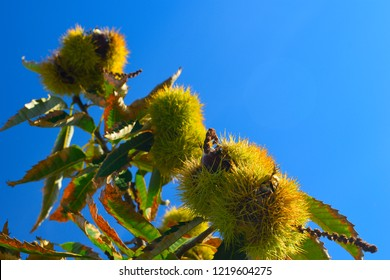Ripe chestnuts on the branches of a chestnut tree with blue sky background. Fruits and autumn foods. Medium plane.