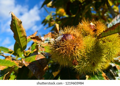 Ripe chestnuts in their thorns pods, on the branches of a chestnut tree with blue sky background. Fruits and autumn foods. Medium plane.