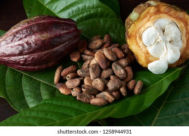 Ripe of chocolate harvest on dark wooden background close-up
