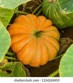 Ripe Cinderella pumpkin on farm field