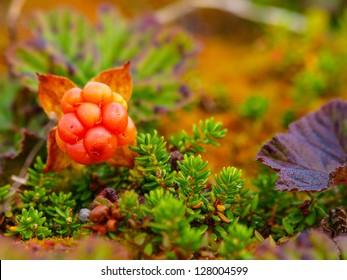 Ripe cloudberry (rubus chamaemorus).