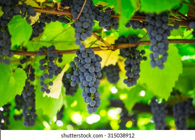 ripe clusters of sweet red grapes Isabella