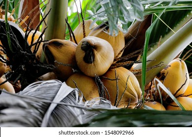 Ripe coconuts growing abundantly in clusters atop a coconut tree where the fruit is pluck for its inner white meat and water, while the husk is a source of raw materials for many household goods.