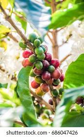 Ripe coffee cherries on coffee trees in bloom