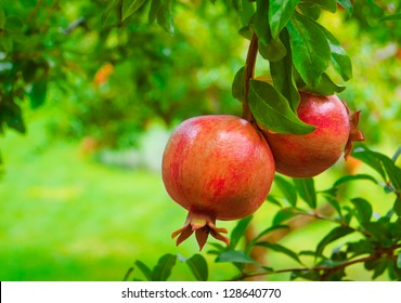 Ripe Colorful Pomegranate Fruit on Tree Branch. The Foliage on the Background