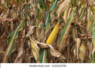 Ripe corn cob in cultivated agricultural corn field ready for harvest picking.