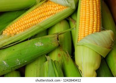Ripe Corn, Detail, Close-up