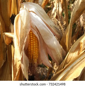 Ripe corn on the field in early autumn