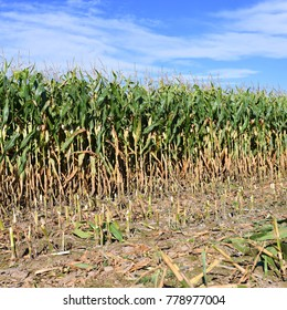 Ripe corn in the rural landscape.