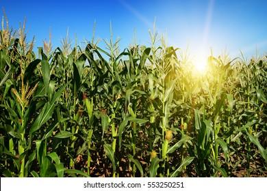Ripe corn stalks on the field. Sunrise on the horizon.