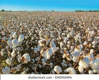 Ripe cotton field. Autumn landscape of a plantation with cotton balls blossoms before farm harvesting in Texas.