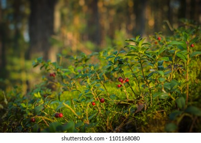 ripe cowberries in the forest
