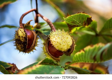 Ripe cracked open chestnut fruit, autumn symbol between colorful blurred leaves, autumn background with colors and blur