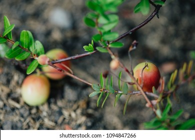Ripe cranberries on a garden bed. Gardening growing berries