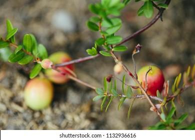 Ripe cranberries on a garden bed. Gardening growing berries