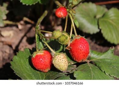 Ripe cultivar organic remontant strawberries (Fragaria viger 'Elan White') in the late summer garden