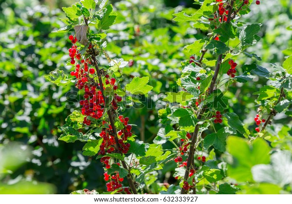 Ripe currants hanging on a shrub