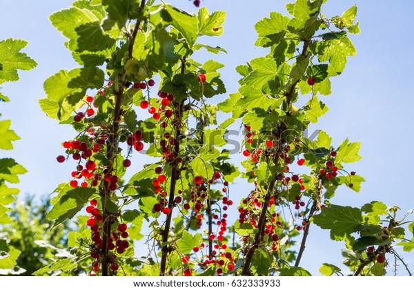 Ripe currants hanging on a shrub