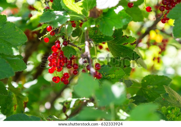 Ripe currants light up against a shrub in the backlight