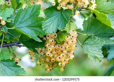 a lot of ripe currants on the Bush, white currants on the green Bush in the summer